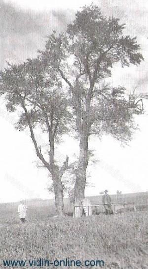 Брестовете в село Градец