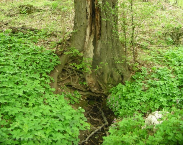Извор от дървото