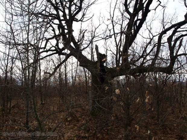 Църквена поляна, Цръковното дърво